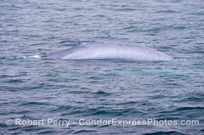 The right flanks of a giant blue whale (<em>Balaenoptera musculus</em>) female.  Her calf is next to her and is the turquoise patch under the water in the foreground.