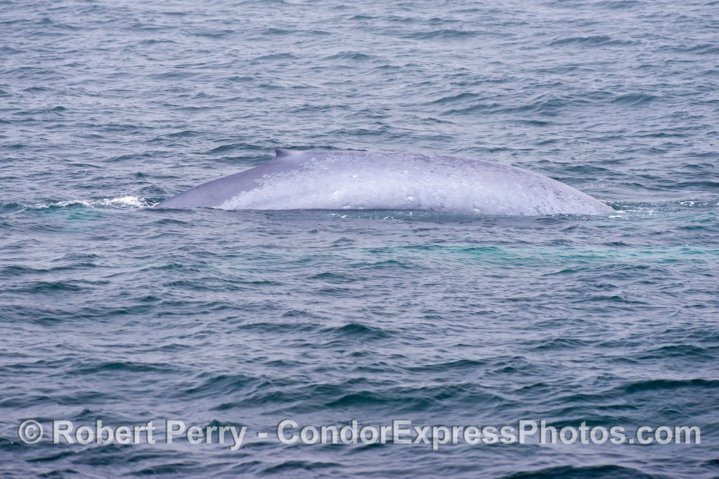 The right flanks of a giant blue whale (Balaenoptera musculus) female.  Her calf is next to her and is the turquoise patch under the water in the foreground.