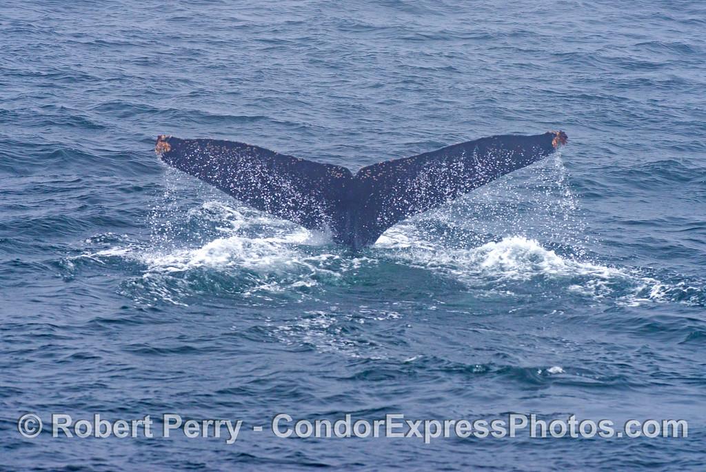 Humpback whale (<em>Megaptera novaeangliae</em> tail flukes - image 2 of 2.