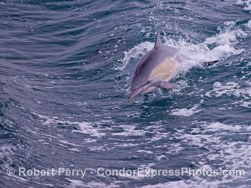 A leaping common dolphin (<em>Delphinus capensis</em>).
