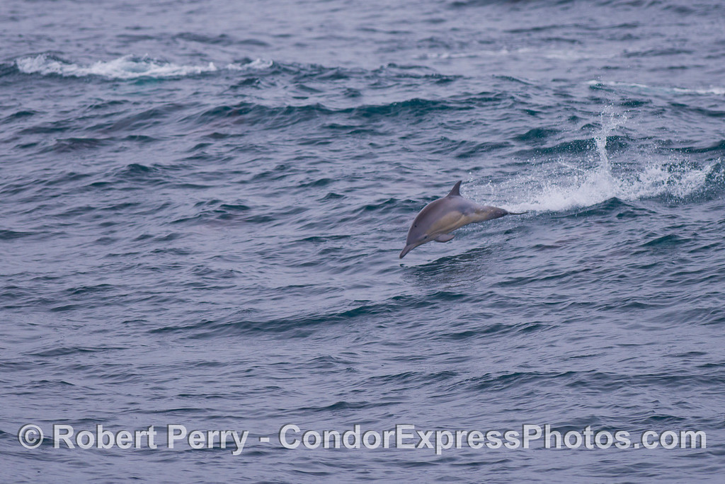 A very small leaping common dolphin (<em>Delphinus capensis</em>).