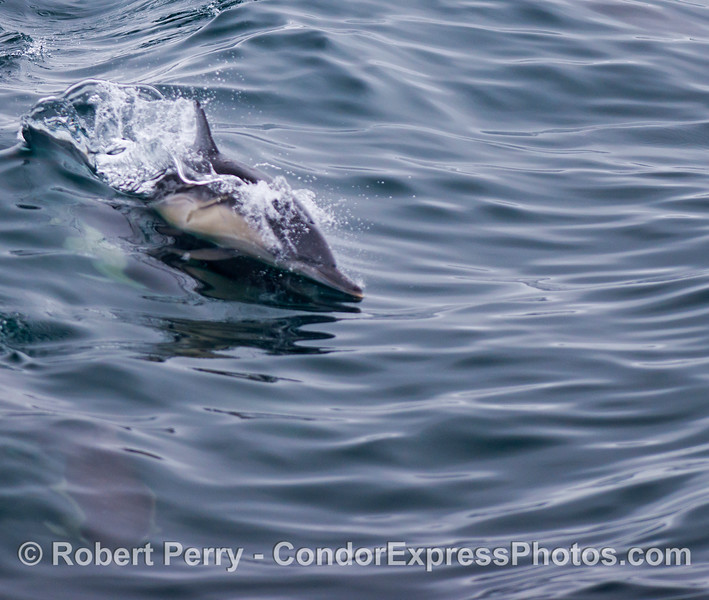 Body surfing common dolphin (<em>Delphinus capensis</em>).