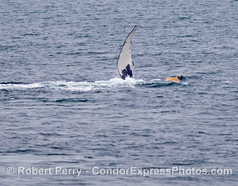 Image 1 of 2:  a humpback whale (<em>Megaptera novaeangliae</em>) slaps its pectoral fin.  This whale is completely upside down.