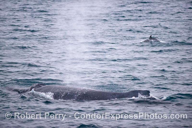 A humpback whale (<em>Megaptera novaeangliae</em>) and a common dolphin (<em>Delphinus capensis</em>) in the back.