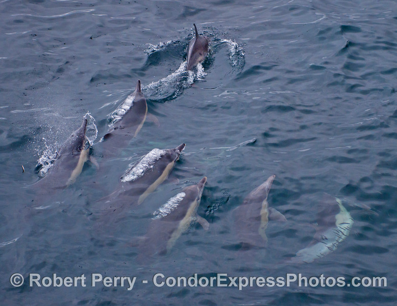 A pack of common dolphins (<em>Delphinus capensis</em>) is seen hunting northern anchovies.  Note the leaping anchovy to the left and a school of anchovies underwater to the right.