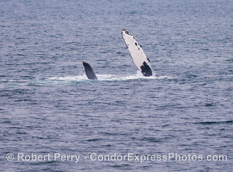 Image 2 of 2:  a humpback whale (<em>Megaptera novaeangliae</em>) slaps its pectoral fin.  This whale is on its side.