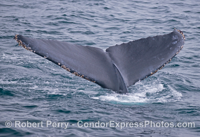 Another very close look at the tail flukes of a humpback whale (<em>Megaptera novaeangliae</em>).