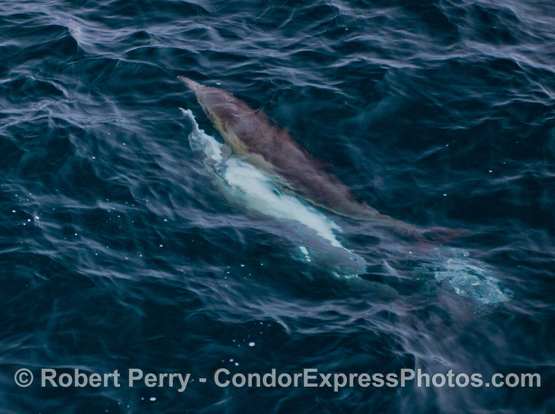 Image 1 of 2:  common dolphins (<em>Delphinus capensis</em>) mating.