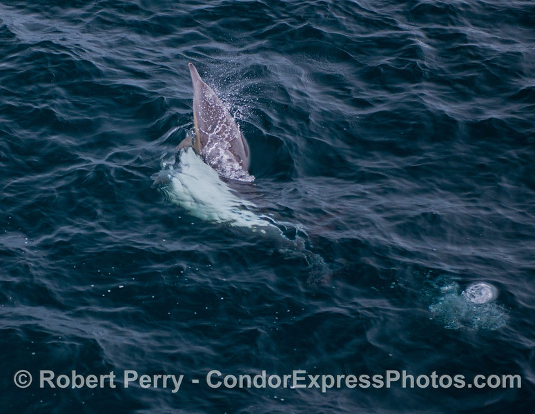 Image 2 of 2:  common dolphins (<em>Delphinus capensis</em>) mating.