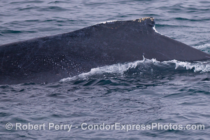 The frosty scars across the dorsal ridge and fin are signs that this humpback whale (<em>Megaptera novaeangliae</em>) is likely a male.  The scars arise from male combat for females on the southern breeding grounds.