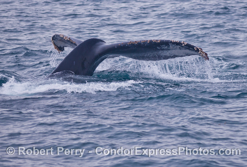 The mighty tail of a humpback whale (<em>Megaptera novaeangliae</em>) lifts up as the whale begins its dive.