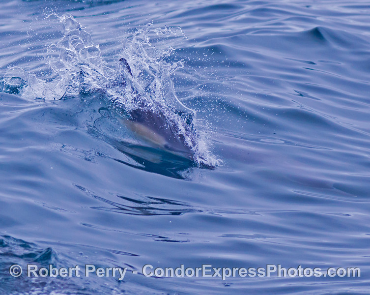 A common dolphin (<em>Delphinus capensis</em>) rides a small wave...eyes open.