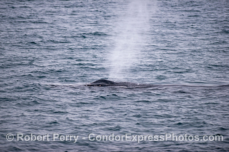 The low profile and mighty spout blast of a humpback whale (<em>Megaptera novaeangliae</em>).