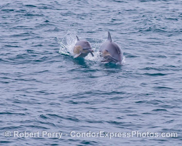 Delphinus capensis 2013-09 SB Channel-f-002
