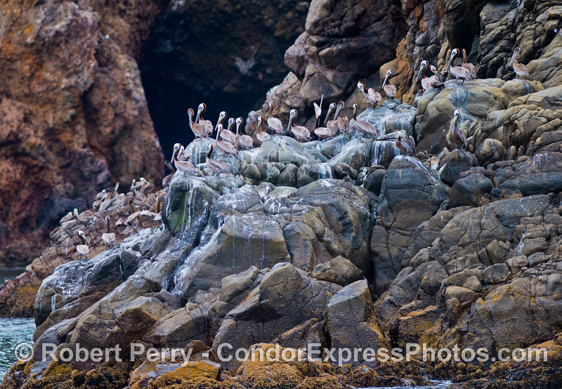 A brown pelican rookery (<em>Pelecanus occidentalis</em>) on the boulder sea cliffs of Santa Cruz Island with a sea cave in the background.