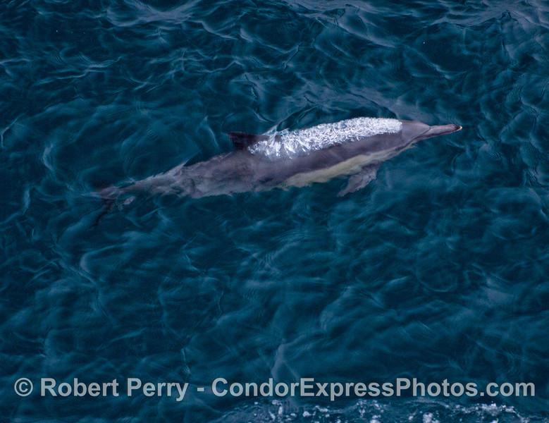 A common dolphin (<em>Delphinus capensis</em>) emits a bubble stream.
