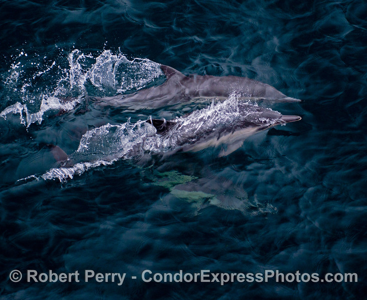 Common dolphins (<em>Delphinus capensis</em>) speeding through turquoise water.