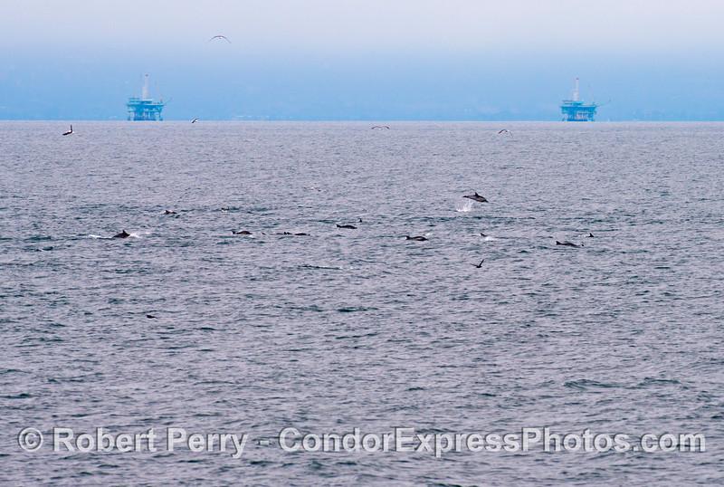 Delphinus capensis & oil platforms 2013 06-12 SB Channel-c-001