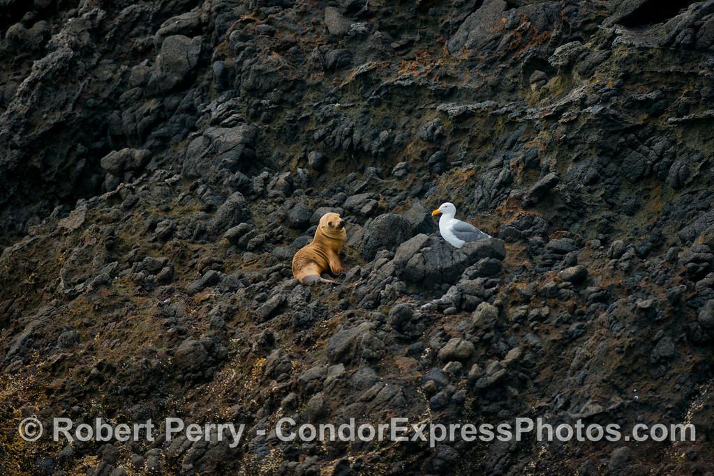Zalophus californianus juv & Larus on rocky ledge 2013 06-12 Sta Cruz Island-038