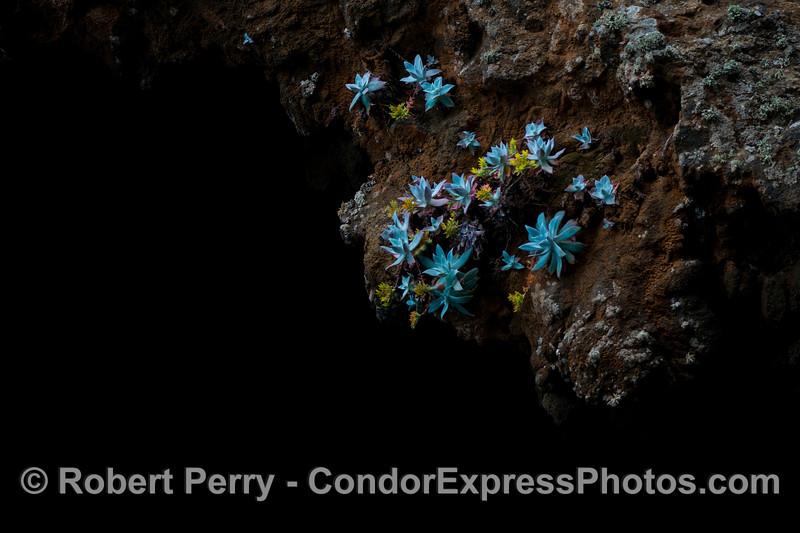 Dudleya nesiotica Painted Cave 2013 06-12 Sta Cruz Island-014