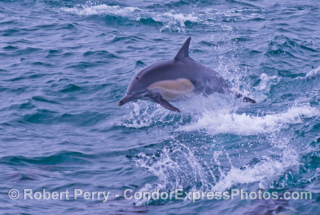 Delphinus capensis 2013 06-12 SB Channel-c-027
