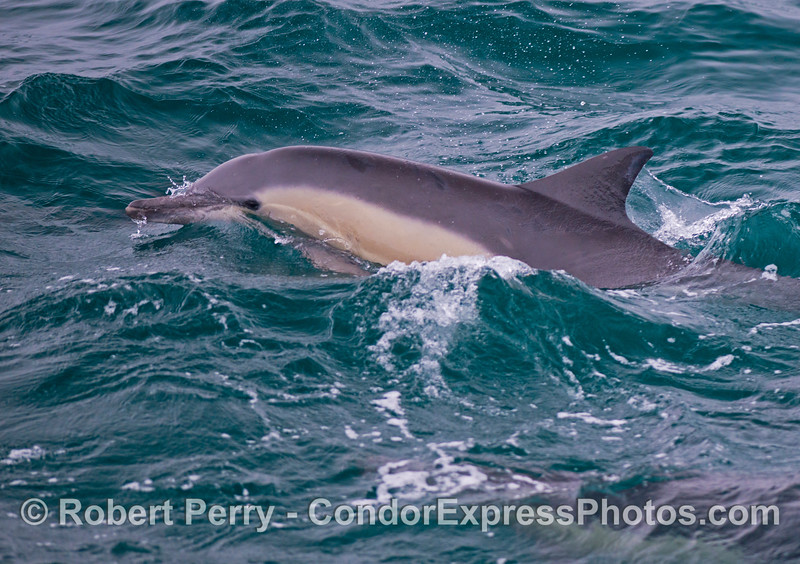 Delphinus capensis 2013 06-12 SB Channel-001