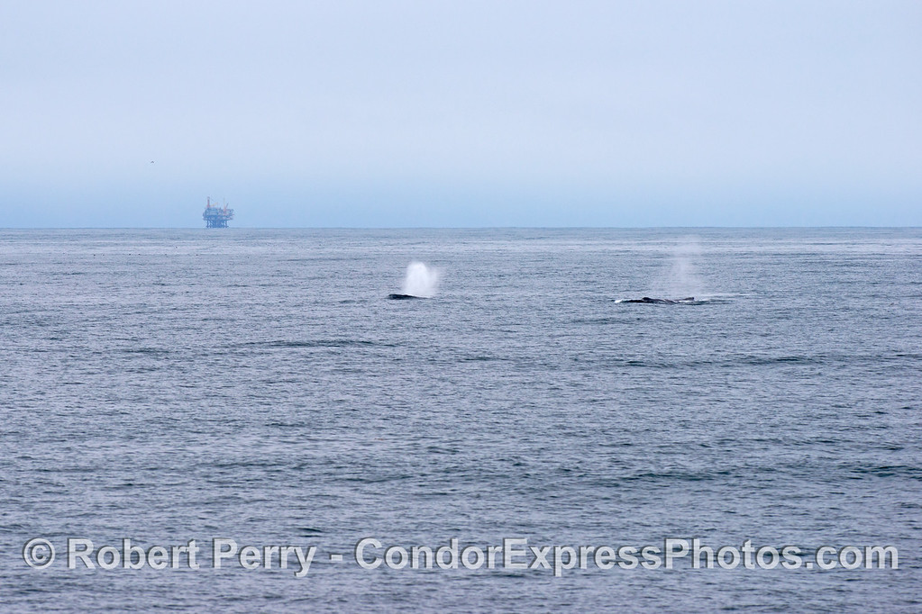 Two humpback whales (<em>Megaptera novaeangliae</em>) and Platform Habitat in the back.