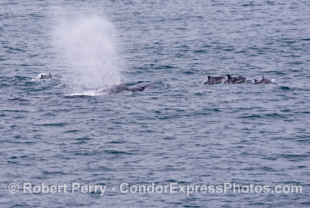 A humpback whale (<em>Megaptera novaeangliae</em>) is seen flanked by a squadron of common dolphins (<em>Delphinus capensis</em>).