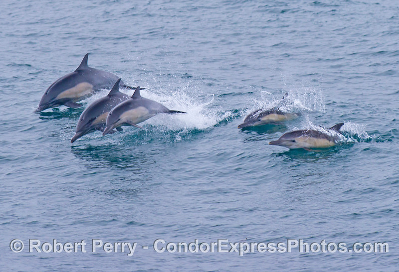 Five leaping common dolphins (<em>Delphinus capensis</em>).
