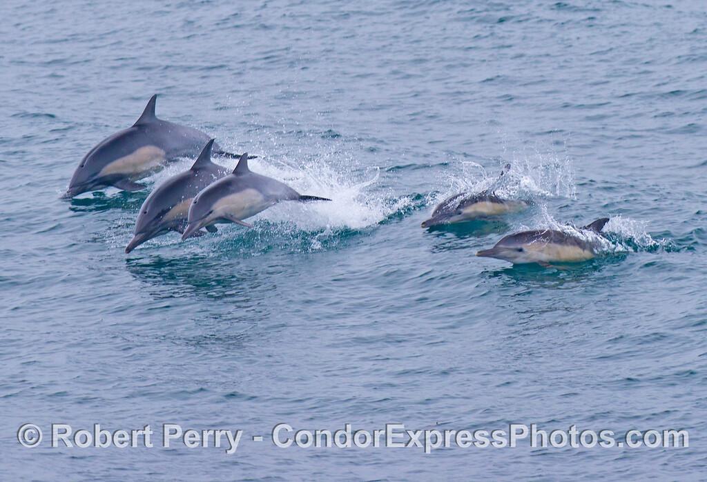 Five leaping common dolphins (<em>Delphinus capensis</em>).
