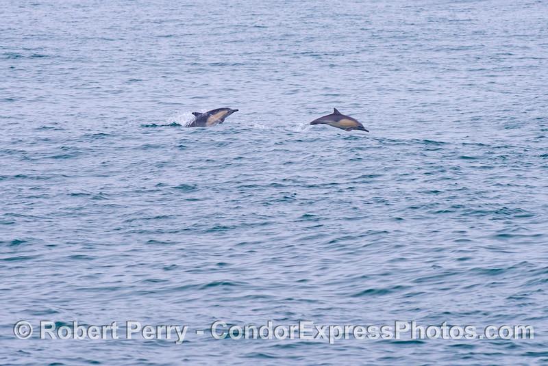 Delphinus capensis 2013 06-13 SB Channel-b-002