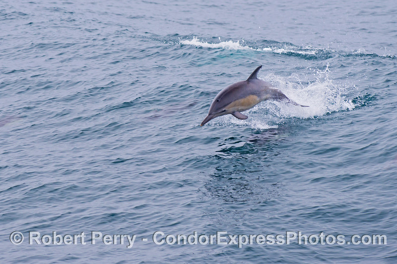 A common dolphin (<em>Delphinus capensis</em>) leaps across the waves.