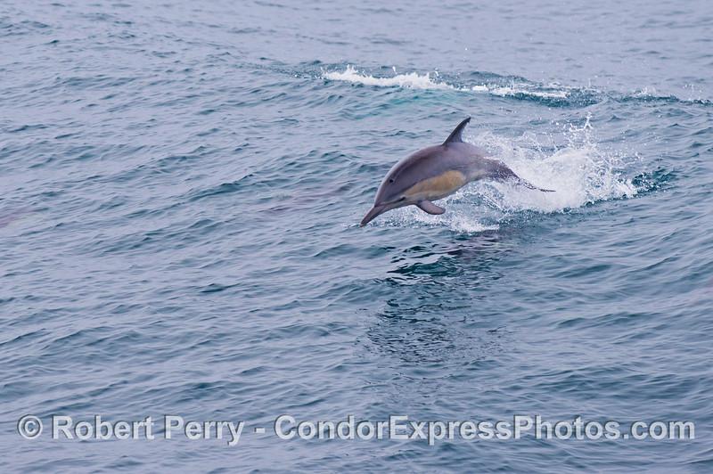 A common dolphin (<em>Delphinus capensis</em>) leaps across the waves.