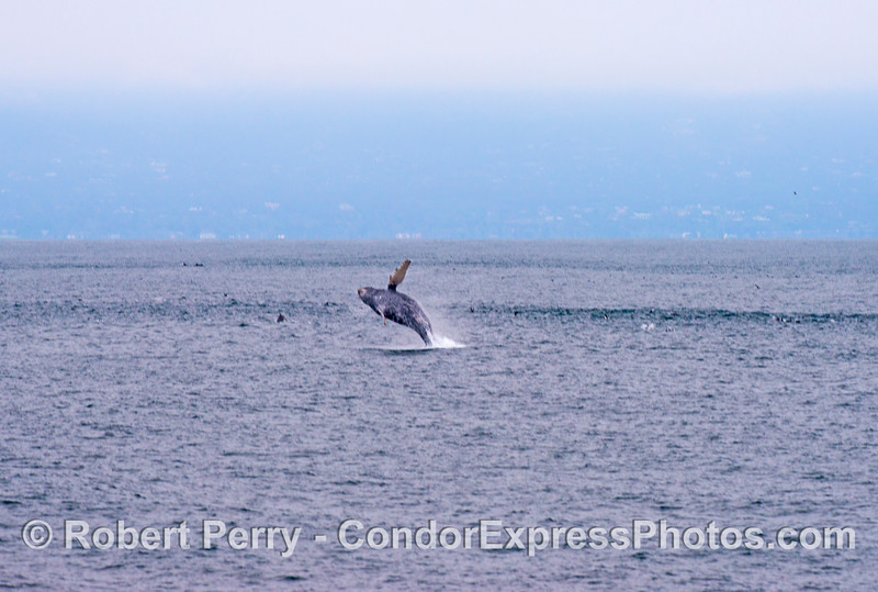 An adult humpback whale (<em>Megaptera novaeangliae</em>) is seen almost completely out of the water as it breaches.