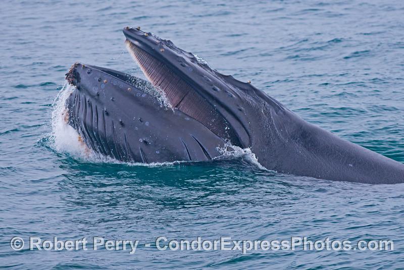 A nice close up view of a surface lunge feeding humpback whale (<em>Megaptera novaeangliae</em>).