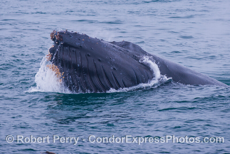 This is the left side of the head of a surface lunge feeding humpback whale (<em>Megaptera novaeangliae</em>).