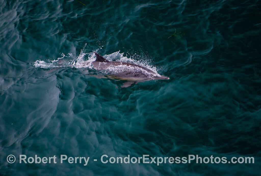 A single common dolphin (<em>Delphinus capensis</em>) streaks across a turquoise ocean.