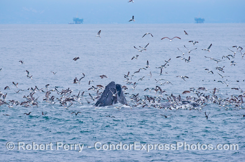 """Image 1 of 2:  A lunge feeding humpback whale (<em>Megaptera novaeangliae</em>) rises up in the midst of an oceanic """"hot spot.""""  Gulls, shearwaters and dolphins were involved in a feeding frenzy preying upon a large, tightly packed school of anchovies.  Attracted by the commotion, the whale has seized the opportunity to gorge itself.  Two of the nearshore oil platforms can be seen in the back."""