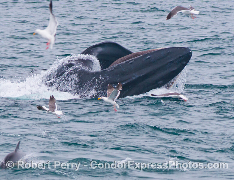 Water pours out of the oral pouch of this humpback whale (<em>Megaptera novaeangliae</em>) as western gulls search for scraps.