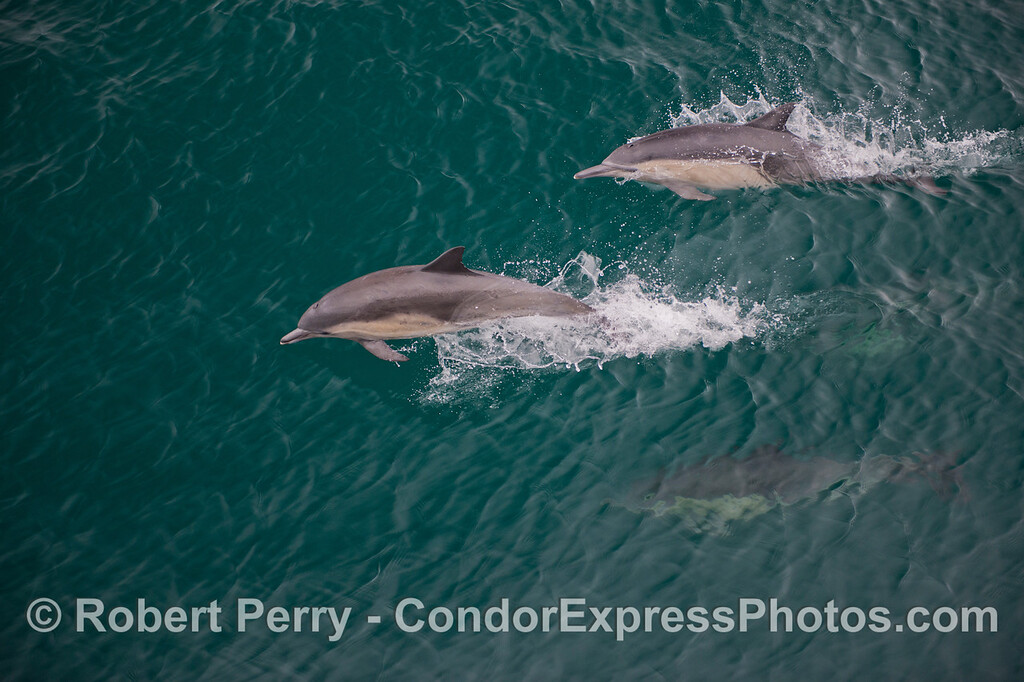 Two fast common dolphins (<em>Delphinus capensis</em>).