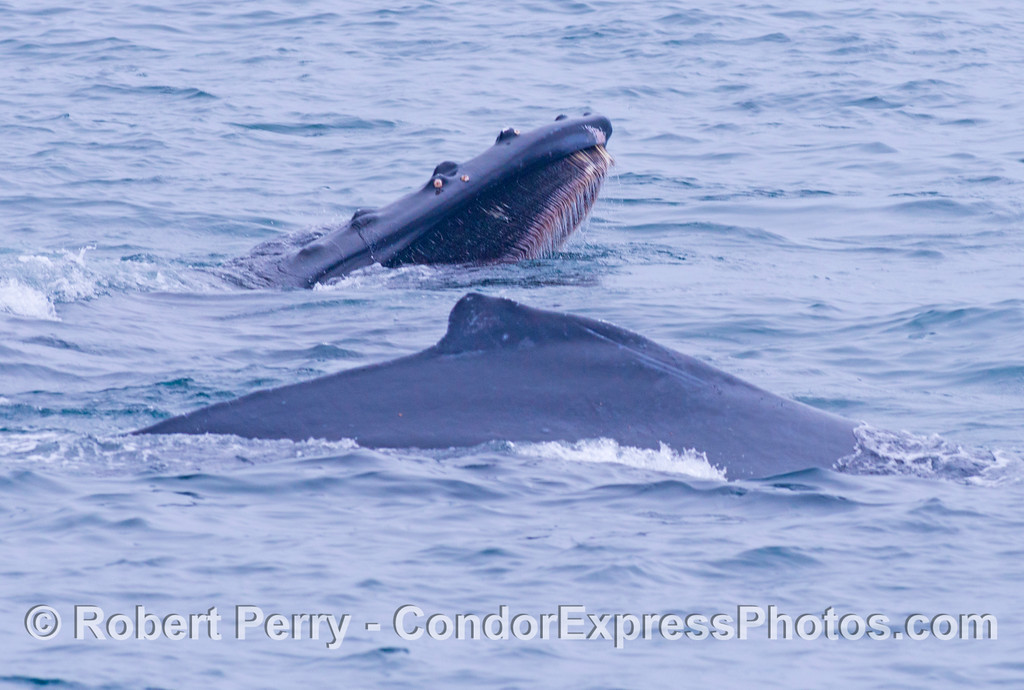 Two humpback whales (<em>Megaptera novaeangliae</em>), the one in back has its mouth open.