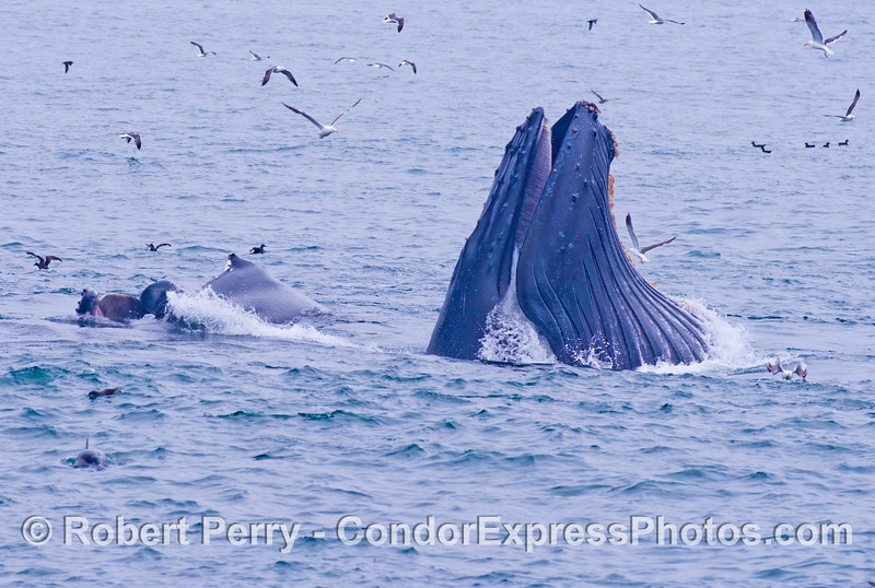 Three surface feeding humpback whales (<em>Megaptera novaeangliae</em>) and friends.