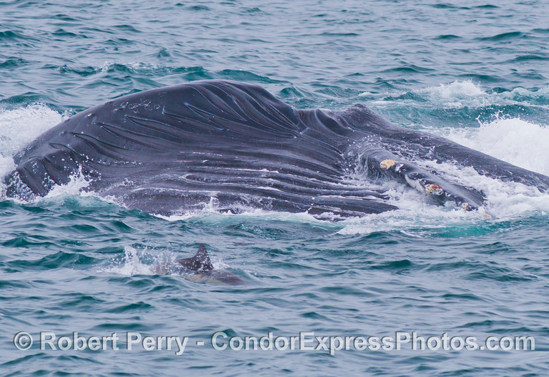Behind the common dolpin we see the massive oral pouch of a humpback whale (Megaptera novaeangliae), with its numerous ventral grooves, as it deflates, sending the water through the filtering baleen. The left pectoral fin is also visible.