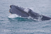 More smoke from the jaws closing tight - humpback whale (Megaptera novaeangliae).