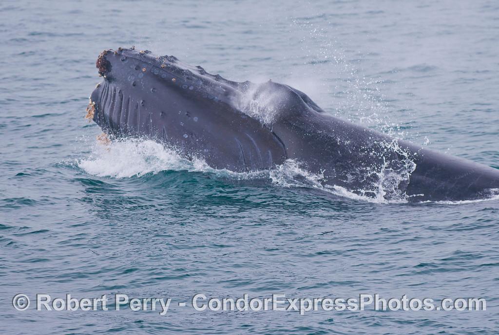 More smoke from the jaws closing tight - humpback whale (<em>Megaptera novaeangliae</em>).