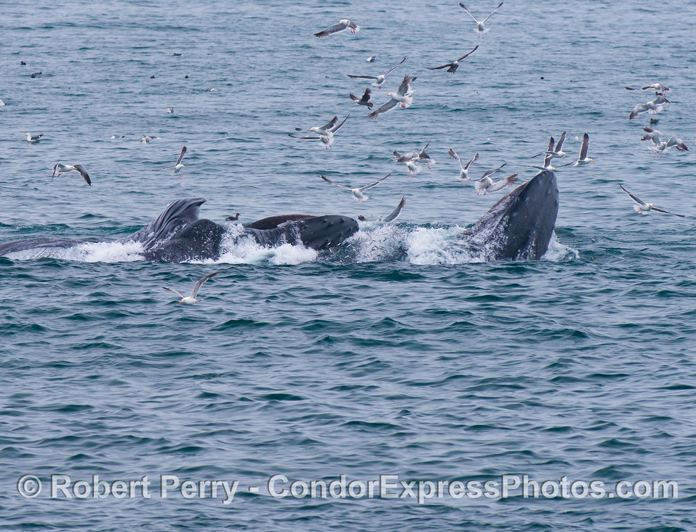 Note the massive quantity of northern anchovies jumping out of the water trying to escape in between two feeding humpback whales (<em>Megaptera novaeangliae</em>).