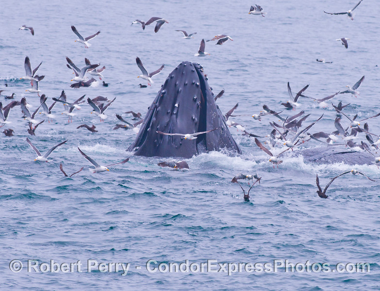 "Image 2 of 2:  A lunge feeding humpback whale (<em>Megaptera novaeangliae</em>) rises up in the midst of an oceanic ""hot spot.""  Gulls, shearwaters and dolphins were involved in a feeding frenzy preying upon a large, tightly packed school of anchovies.  Attracted by the commotion, the whale has seized the opportunity to gorge itself."