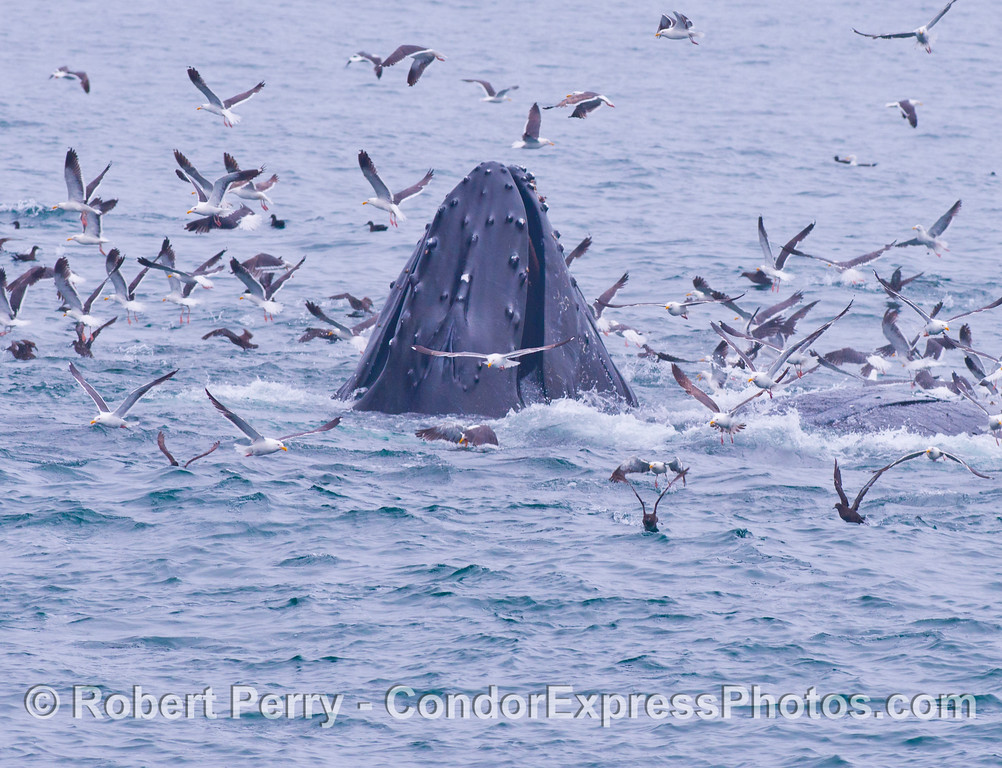 """Image 2 of 2:  A lunge feeding humpback whale (<em>Megaptera novaeangliae</em>) rises up in the midst of an oceanic """"hot spot.""""  Gulls, shearwaters and dolphins were involved in a feeding frenzy preying upon a large, tightly packed school of anchovies.  Attracted by the commotion, the whale has seized the opportunity to gorge itself."""