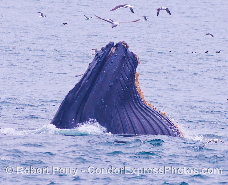 A lunge feeding humpback whale (<em>Megaptera novaeangliae</em>) shows us its greatly distended oral pouch.