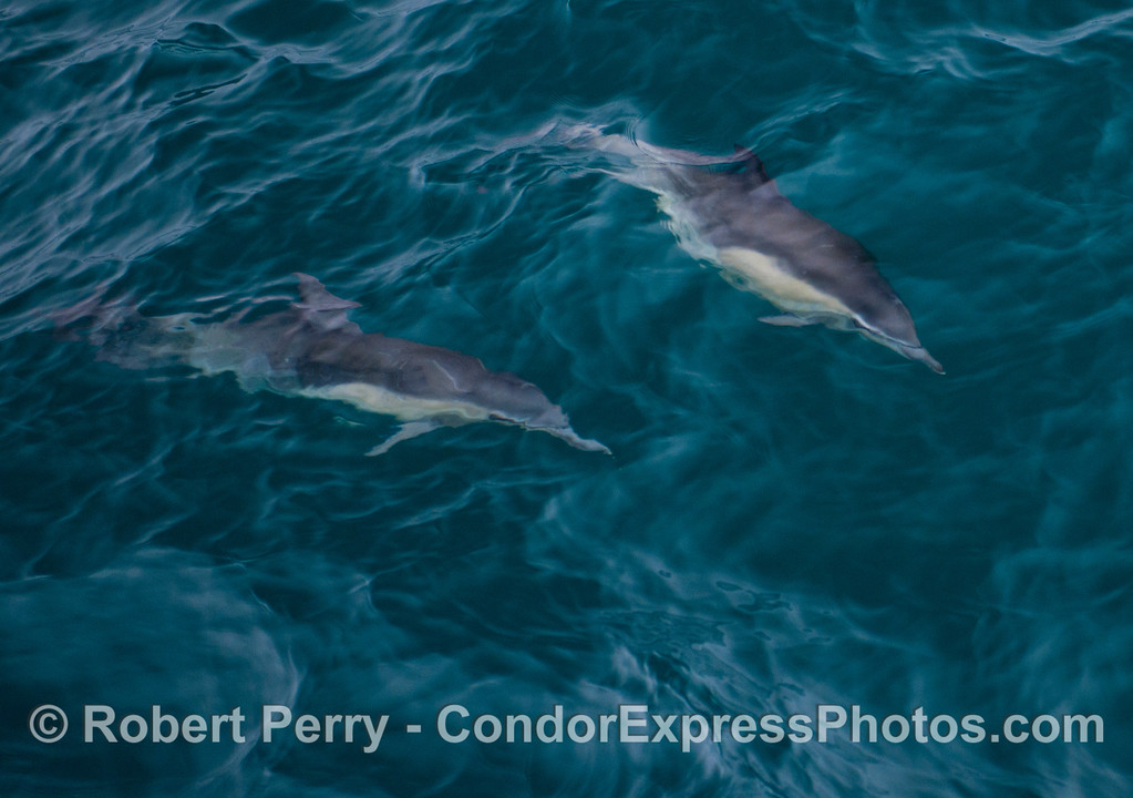 An abstract look at two common dolphins (<em>Delphinus capensis</em>) in turquoise water with rippled surface.
